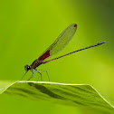 Red-spotted Damselfly
