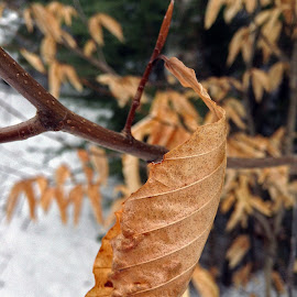 Spring Bud Winter Leaf by Mark Mynott - Nature Up Close Leaves & Grasses ( march, tree, snow, nature up close, stems, landscape, buds, leaves, new hampshire, conifers )