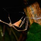 Net Casting Spider