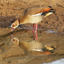 Egyptian Goose with reflection. by Judy Patching - Novices Only Wildlife ( mirror, reflection, nature, wildlife, goose )