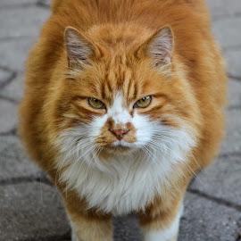 niki the cat by Andrej Bojnec - Animals - Cats Portraits ( cat, homecat, miew, kitty, animal )