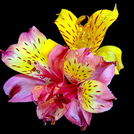 Yellow n pink  by Asif Bora - Flowers Flowers in the Wild