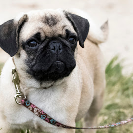 Snuggle Pug by Robert George - Animals - Dogs Puppies