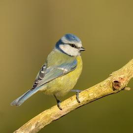 Blue Tit  by Keith Bannister - Animals Birds ( park, nature, wildlife, birds, blue tit )
