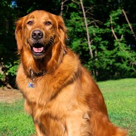 Shalie by Clay Harvey - Animals - Dogs Portraits ( golden retriever, up close, golden, portrait, dog )