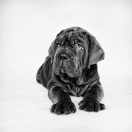 Neapolitan Mastiff Puppy 3 by Dan Horton-Szar ARPS - Animals - Dogs Puppies ( monochrome, black and white, pet, mastiff, puppy, dog )