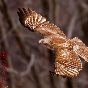 by Herb Houghton - Animals Birds ( bird of prey, red tailed hawk, raptor, hawk )