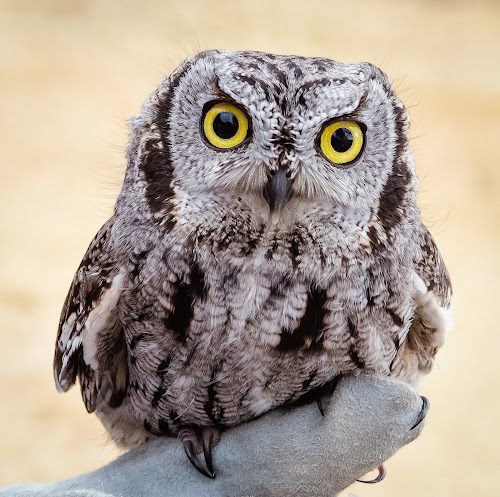 Screech Owl by Dave Lipchen - Animals Birds ( screech owl )
