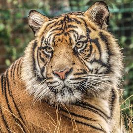 Tiger by Garry Chisholm - Animals Lions, Tigers & Big Cats ( big cat, garry chisholm, predator, nature, tiger, black and white, wildlife )