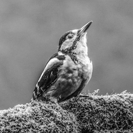 Woody by Garry Chisholm - Black & White Animals ( nature, bird, woodpecker, british wildlife, canon, garry chisholm )