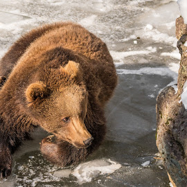 Bear on the ice by Andrej Kozelj - Animals Other ( wild, animals, winter, nature, ice, wildlife, animal )