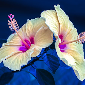 A Sunny Pair by Joan Sharp - Flowers Single Flower ( flowers, hibiscus,  )