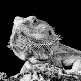 Dragon by Garry Chisholm - Black & White Animals ( bearded dragon, macro, nature, reptile, lizard, garry chisholm )