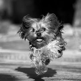 Flying Yorky by Sergio Yorick - Black & White Animals ( flying, black and white, dog, running, animal,  )