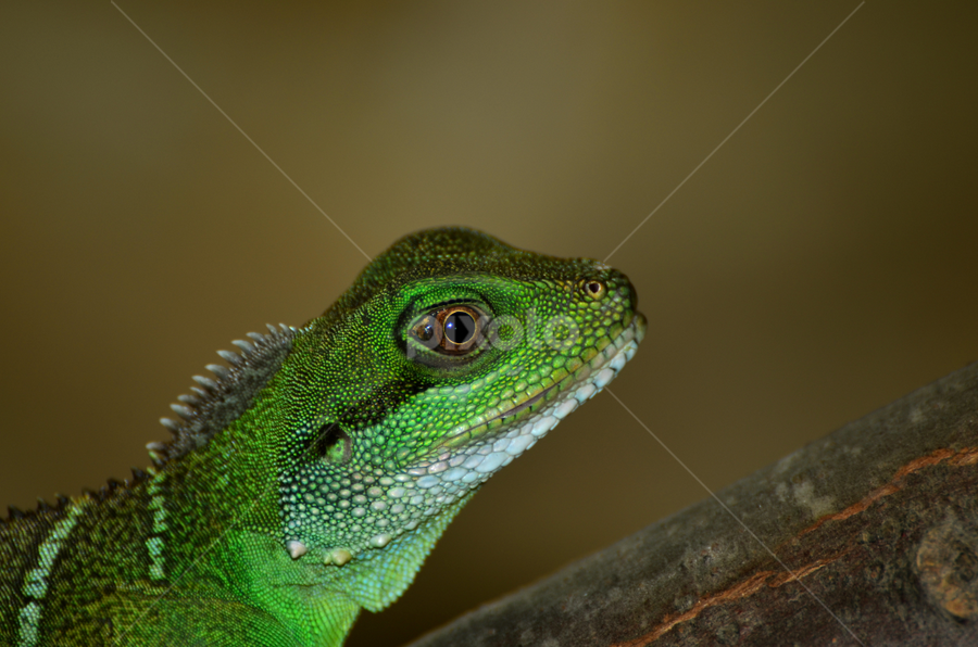 Green lizard by Mauritz Janeke - Animals Reptiles ( reptiles, lizard, animals, zoo, green lizard,  )