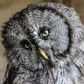 Head tilt by Garry Chisholm - Animals Birds ( bird, garry chisholm, nature, wildlife, prey, great grey owl )