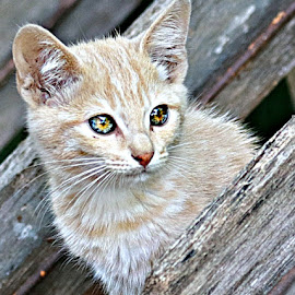 Biscuit by Pieter J de Villiers - Animals - Cats Kittens ( mammals, cats, animals, cat eyes, kittens )