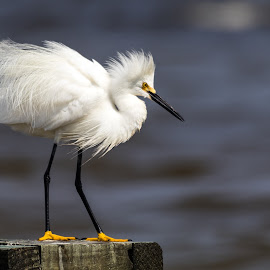 Snowy White Egret by Shutter Bay Photography - Animals Birds ( nature, waterscape, snowy egret, birds, egret )