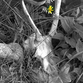 Life After Death by Rebecca Weatherford - Novices Only Objects & Still Life ( b&w, antlers, selective-color, bones, yellow, nikon, flowers )