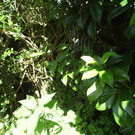 the Web in the Green by Angie Keverne - Nature Up Close Webs ( bushes, green, plants, spider, web )