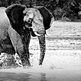 Splash by Pieter J de Villiers - Black & White Animals