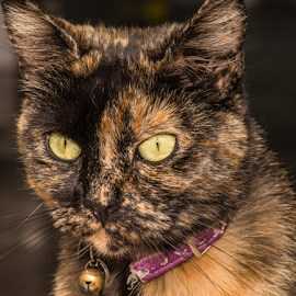 Button by Dave Smith - Animals - Cats Portraits ( cats, tortoise shell, pets, whiskers, fur, paws, feline, eyes )
