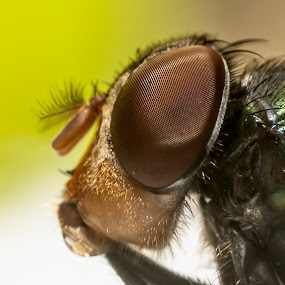 Big Eyes2 by Asher Lwin - Abstract Macro ( macro, nature, fly, close up, eyes )