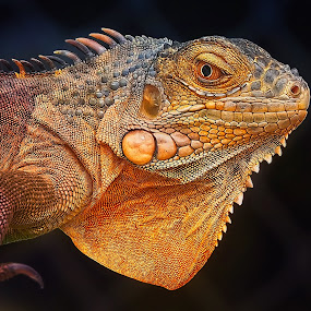 by Paulus Tino - Animals Reptiles