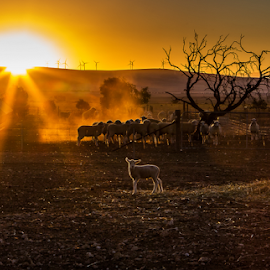 Sunrise over the fields by Gary Beresford - Landscapes Prairies, Meadows & Fields ( hills, tree, silhouette, dust, sheep, sunrise, fields )