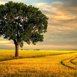 Trace&Tree by Aleksander Grzelak - Landscapes Prairies, Meadows & Fields ( field, sky, tree, pentax, cereal, poland )