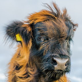 Calf in the wind by Nigel Bishton - Animals Other Mammals