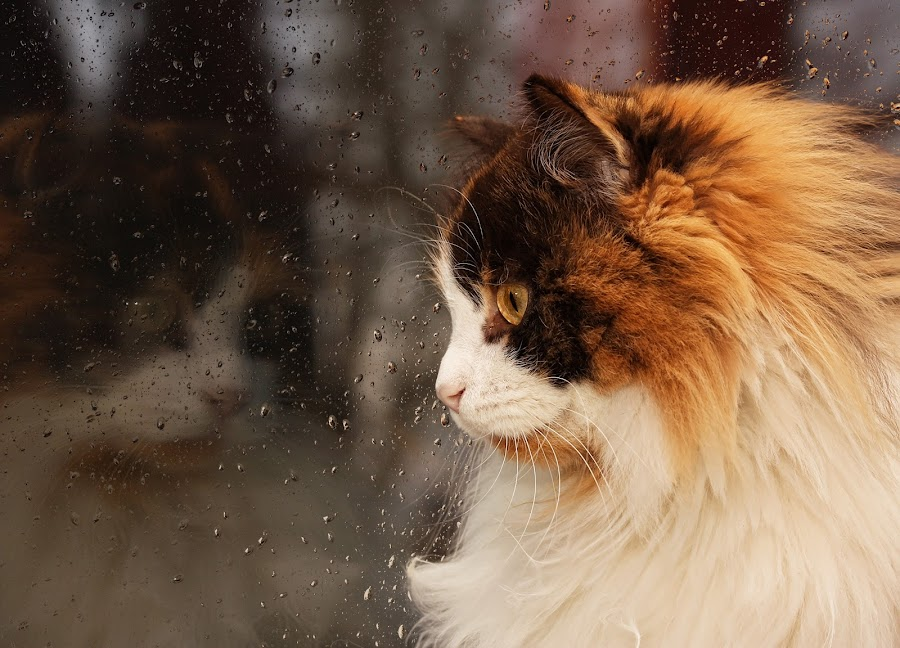 Cat in the window by Jane Bjerkli - Animals - Cats Portraits ( cat, stock, window, norwegian forest cat, tricolor, fur, raindrops, rain )