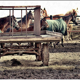 Amish Horses by Yvonne Collins - Animals Horses ( amish, animals, horses, trying to get a good shot, running )