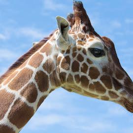 Giraffe by Kellee Wright - Animals Other Mammals ( face, giraffe, candid, mammal, portrait, animal )