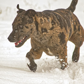 Rabbit!! by Ronnie Jones - Animals - Dogs Playing ( smell, canine, mountains, tracking, hound, pet, outdoor, snow, hunting, dog )