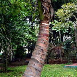 Coconut Tree. by Vinod Rajan - City,  Street & Park  City Parks ( nature, tree, trees, park, coconut,  )