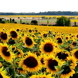 Sunflowers by Heather Aplin - Landscapes Prairies, Meadows & Fields (  )