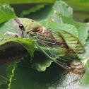 Superb Green Cicada