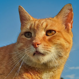 Sam by Sue Delia - Animals - Cats Portraits ( face, cat, ginger, prange )