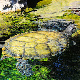 turtle clear water by Stephen  Pannone - Animals Reptiles