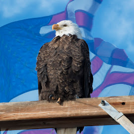 Standing Tall by Tracy Lynn Hart - Digital Art Animals ( birds of prey, sky, red, flag, america, patriotic, blue, colors, white, bald eagle, patriotism, eagles, raptors )
