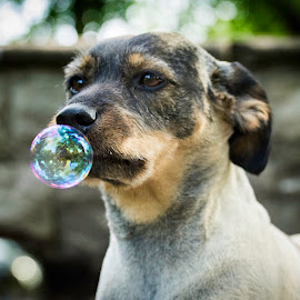 Blowing bubbles by Patricia Konyha - Animals - Dogs Portraits ( bubbles, flowers )