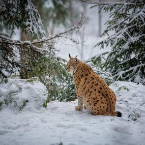 Lynx by Robert Grim - Animals Lions, Tigers & Big Cats ( robertgrimfoto, national park, europe, rgfoto, nature, lynx )