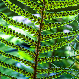 Fern Ready to Spore by Martin Davis - Nature Up Close Leaves & Grasses ( reflection, seed, green, leaf, leaves, repetition )
