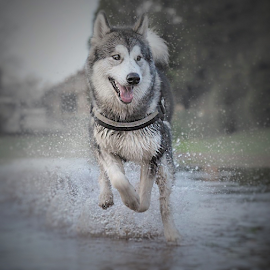 free by Michael  M Sweeney - Animals - Dogs Running ( 700 club, joy, alaskan malamute, animalia, running, eyes, canine, michaelmsweeneyphotography, dogrunning, pet, animals in motion, playfull, puppy, nikon, dog, aniamal )