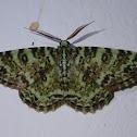 Variegated Ophthalmitis Moth
