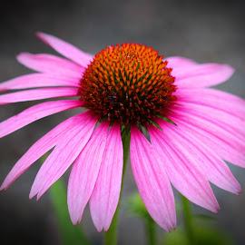 Pretty in Pink by Janet Herman - Flowers Single Flower ( echinacea, summer, pink, floral, flower )
