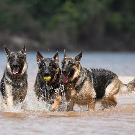Pure joy - three amigos  by Jennifer Cessna - Animals - Dogs Playing ( gsd )