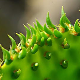Cactus Bud by A.j. Amos - Nature Up Close Other Natural Objects ( macro, nature, green, close up, cactus )