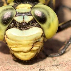 Gomphidae by Santosh Singh - Animals Insects & Spiders ( nazneen, portrait of odonata, voiceofcamera.com, closeup gomphidae, odonata, dragonfly, gomphidae )